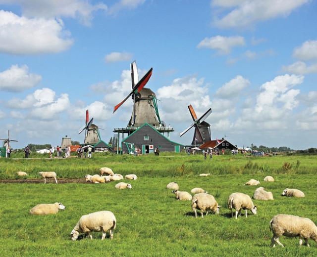 molens en schapen